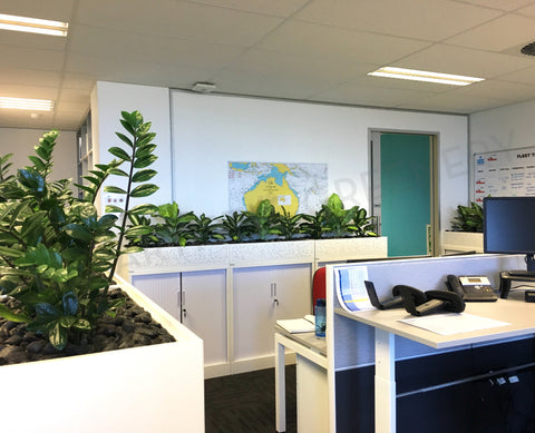 Fastad Shipping - Dieffenbachia Plants for Tambour Units