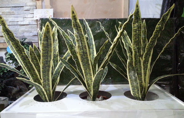 sp0168 mother in law 39 s tongue snake plant sansevieria 70cm artificial snake plant australia. Black Bedroom Furniture Sets. Home Design Ideas