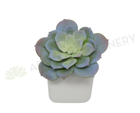 SP0187 Echeveria Grey 13cm
