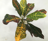 SP0207 Red Croton Plant 50cm