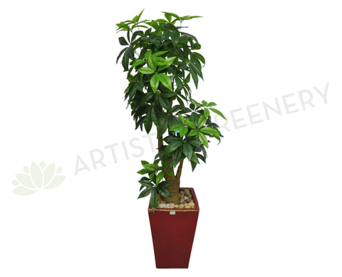 T0006NEW Pachira Umbella (aka Money Tree) 166cm