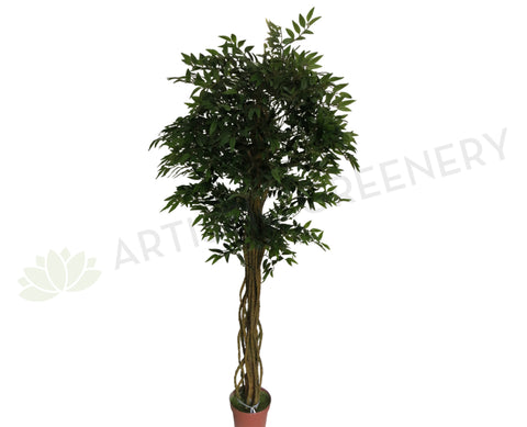 T0100 French Ficus
