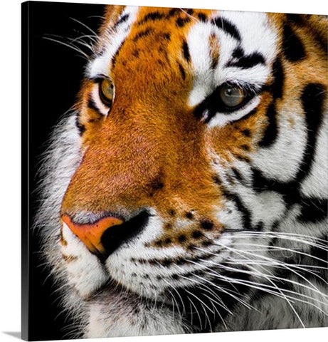 Dangerous Tiger Animal Canvas Wall Art Print