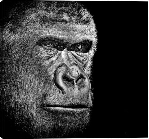 Gorilla Portrait Animal Canvas Wall Art Print by Unknown