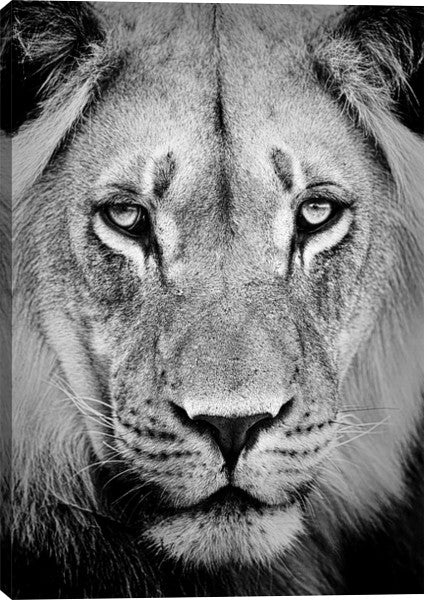 Lion Portrait Animal Canvas Wall Art Print by Unknown
