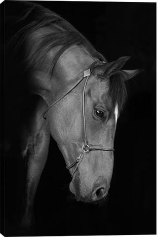 Trakehner Stallion In The Barn Black and White Animal Canvas Wall Art Print by Unknown