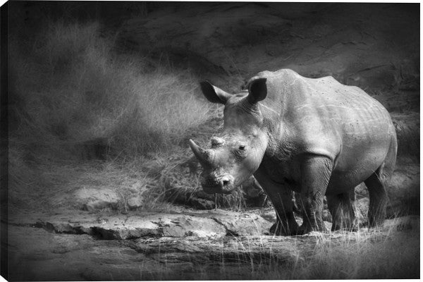 White Rhinoceros Animal Canvas Wall Art Print by Unknown