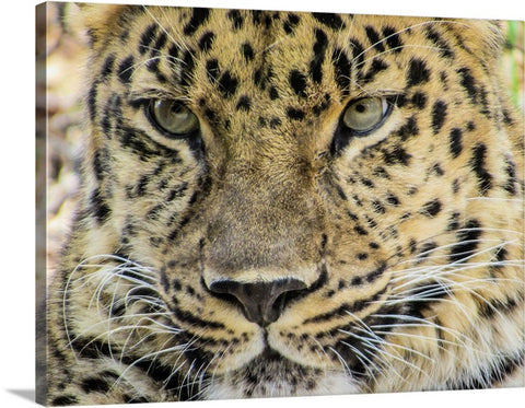 Wild Cat Stare Canvas Wall Art Print