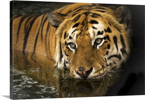 Bathing Tiger Canvas Wall Art Print
