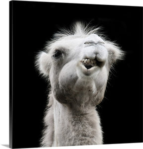 Camel Chew Animal Canvas Wall Art Print