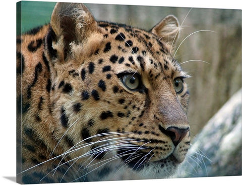 Cautious Leopard Canvas Wall Art Print