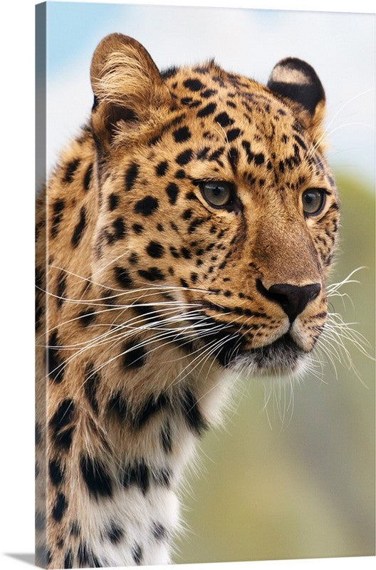 Cheetah Stare Canvas Wall Art Print