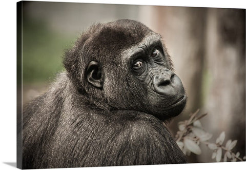 Chimpanzee Glimpse Canvas Wall Art Print