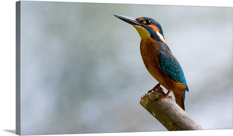Common Kingfisher Canvas Wall Art Print