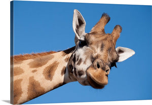 Giraffe Fun Canvas Wall Art Print