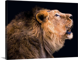 Lion Views Canvas Wall Art Print