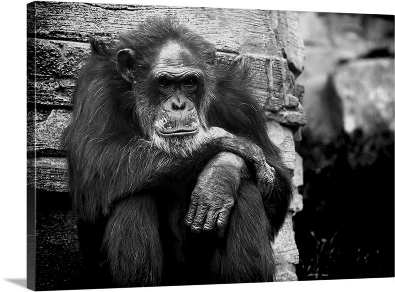 Monkey Lost in Thought Canvas Wall Art Print