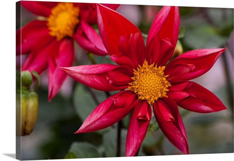 My Red Dahlias Canvas Wall Art Print