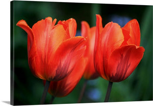 Orange Tulips Canvas Wall Art Print