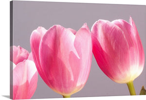 Pretty in Pink Tulips III Canvas Wall Art Print