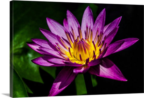 Purple Water Lily Canvas Wall Art Print