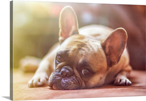 Resting Bulldog Canvas Wall Art Print