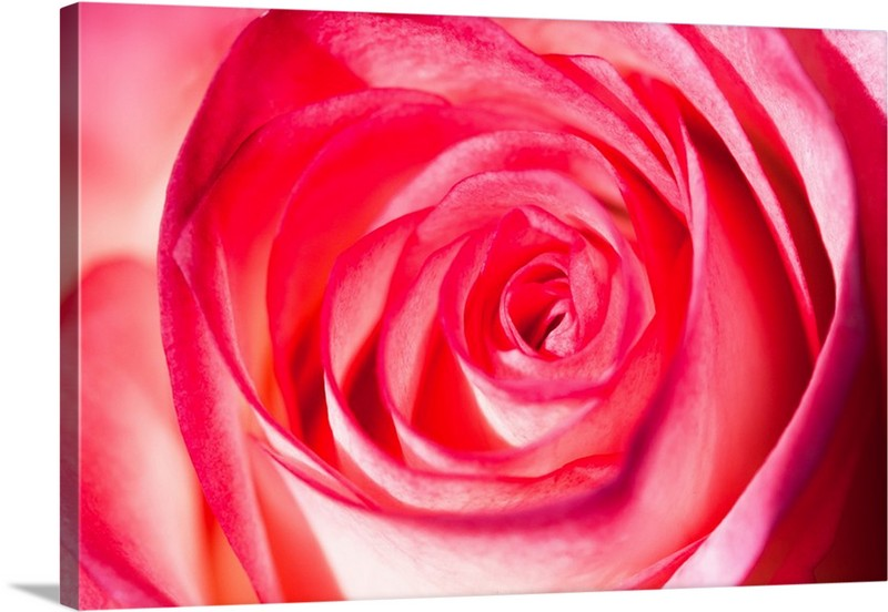Rose Glow Canvas Wall Art Print