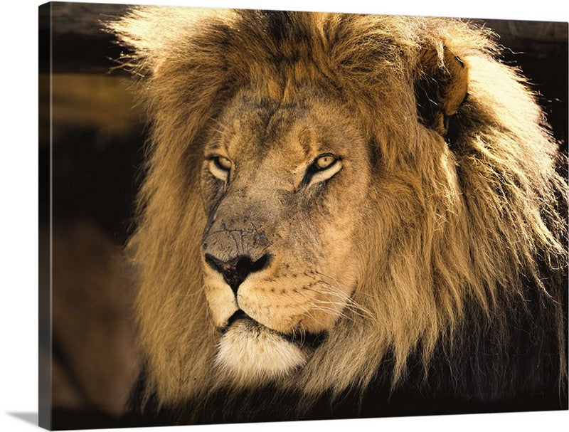 Scars of a Lion Canvas Wall Art Print