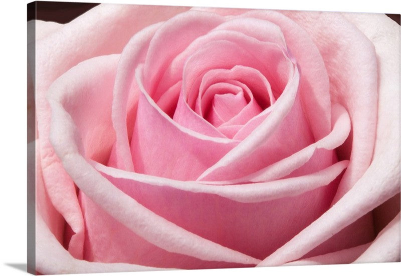 Splendid Rose Canvas Wall Art Print