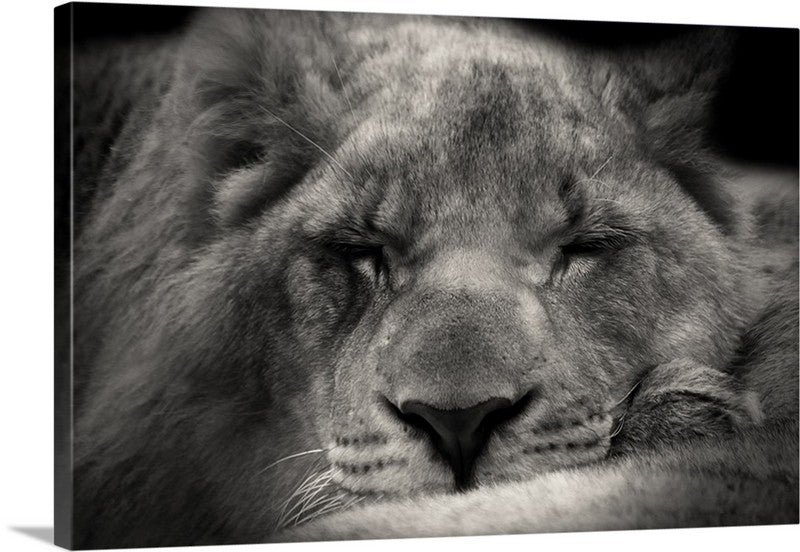 Sweet Sleeping Lion Canvas Wall Art Print