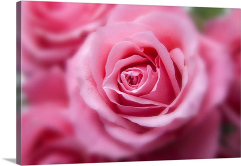Tender Pink Rose Canvas Wall Art Print