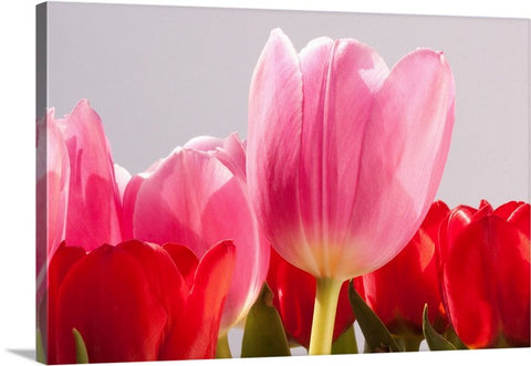 Tulip Delicacy Canvas Wall Art Print
