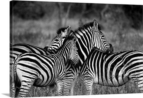 Zebra Standing Together Canvas Wall Art Print