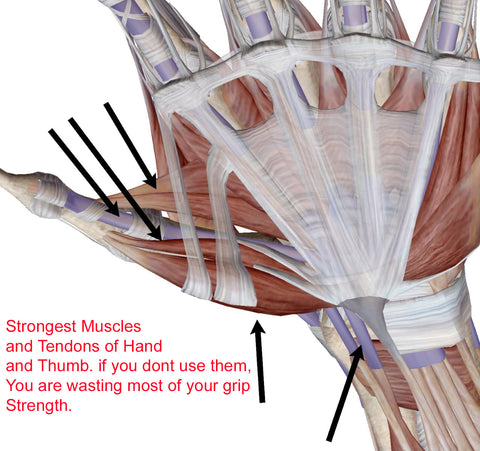 Opposable grip muscles of hand