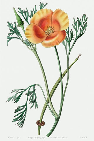 California Poppy Botanical Drawing