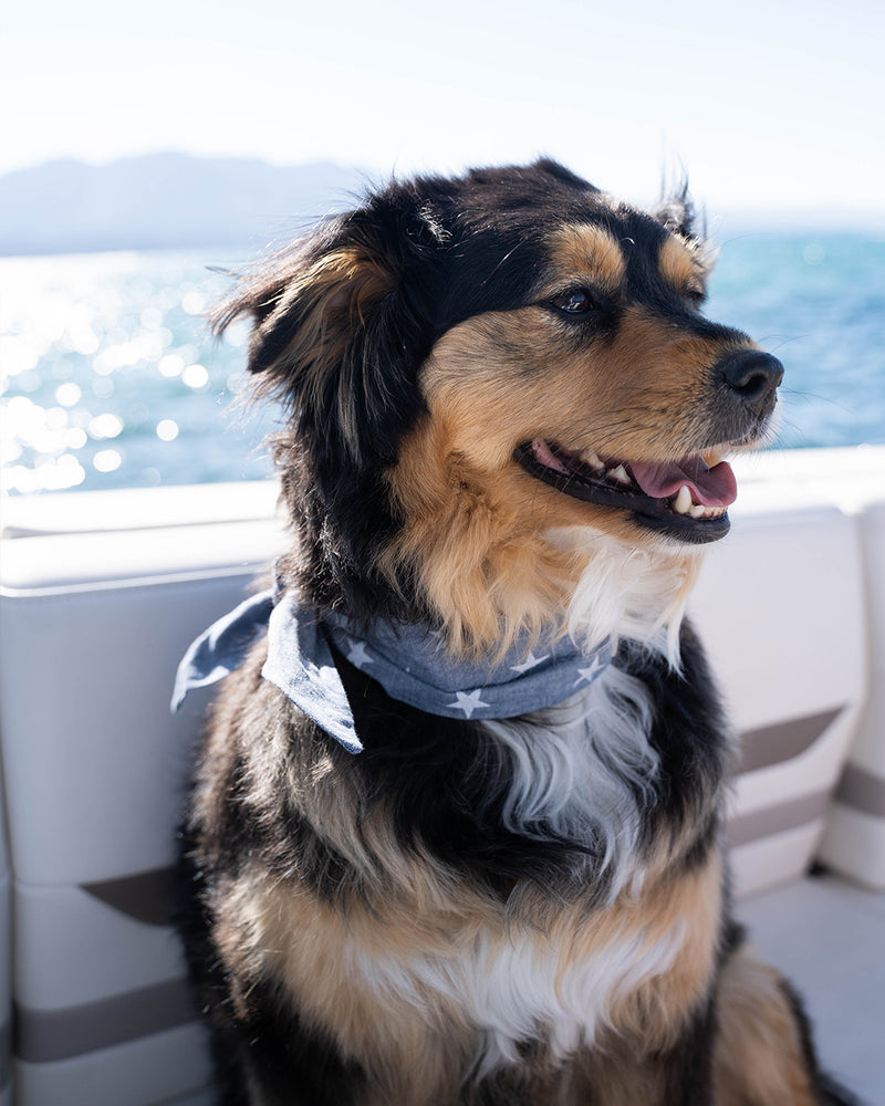 Star necktie for dogs and cat. Like a rolled bandana but less fuss. Necktie on Australian Shepherd mix.