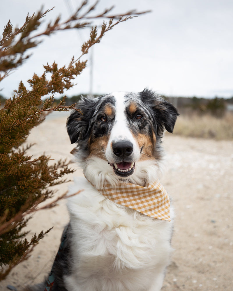 Dark yellow gingham bandana for cats and dogs. pre-folded and offers longer ends to perfectly and easily tie. 100% Cotton. Bandana on Australian Shepherd