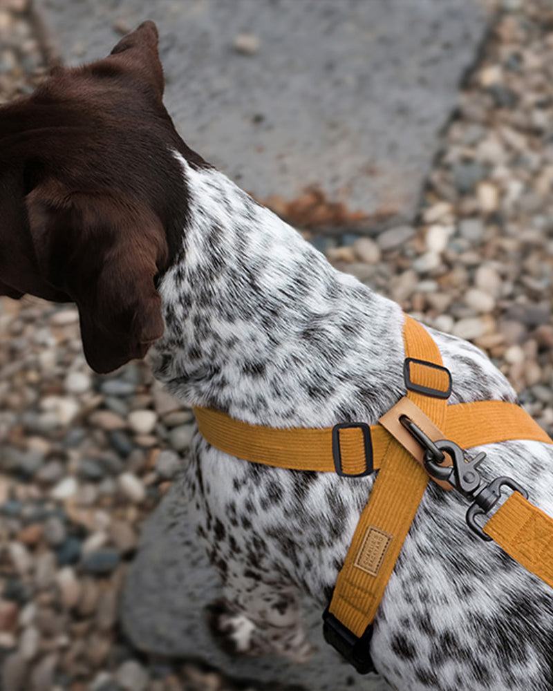 FIELD X-HARNESS BY CHARLIE'S BACKYARD. YELLOW CORDUROY AND ADJUSTABLE. FEATURED ON A BLACK AND WHITE DOG.