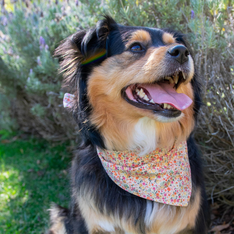 Floral bandana for cats and dogs. pre-folded and offers longer ends to perfectly and easily tie. 100% Cotton. on an Aussie mix