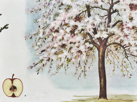 Vintage Botanical Poster of Flowering Apple Tree-Faraway Places