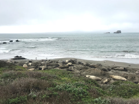 elephant seal rookery in San Simeon