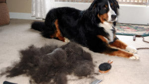 Excessive Dog Coat Shedding Cause by Dysbiosis