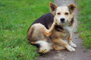 Itchy Dog Treated by Probiotic Shampoo