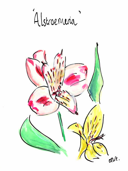 'Alstroemeria' - from the Botanics of Lunatic Lane