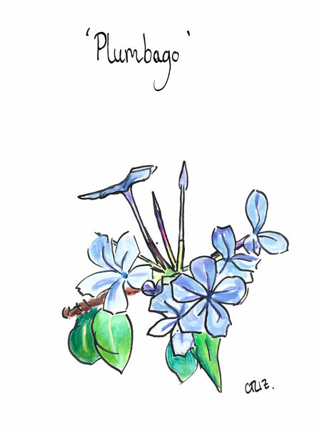 'Plumbago' - from the Botanics of Lunatic Lane