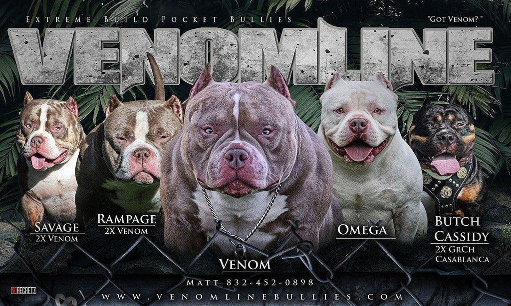 POCKET BULLY | VENOM AND OMEGA WITH VENOMLINE'S DOLCE & LIL TING PLUS: INTRODUCING 2X ORO DAUGHTER ATHENA-Venomline | Texas Size Bullies | Top Pocket Bully Kennel