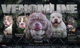 POCKET BULLY | VENOM AND OMEGA WITH VENOMLINE'S DOLCE & LIL TING PLUS: INTRODUCING 2X ORO DAUGHTER ATHENA