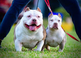 EXTREME BULLY: TRI COLOR POCKET BULLY PUPPIES - VENOMLINE