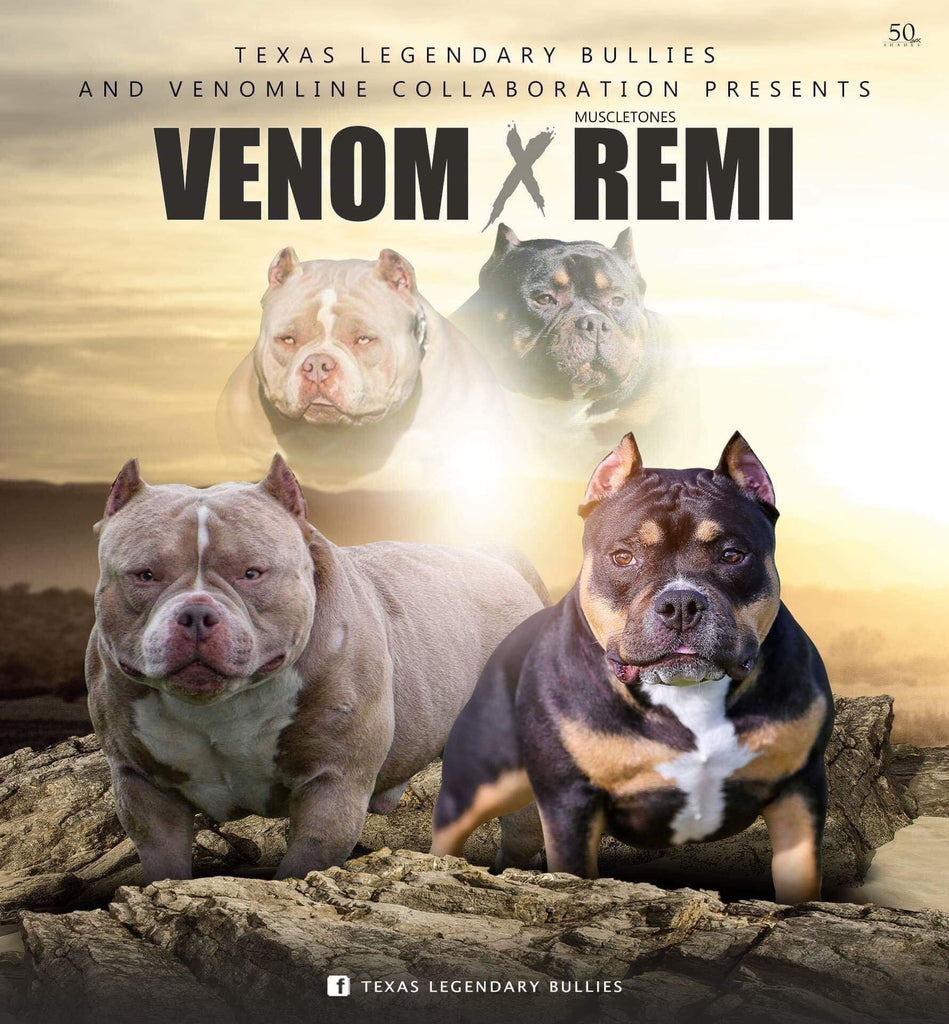 "POCKET BULLY PUPPIES | LOUIS V LINE""S VENOM X MUSCLETONE'S REMI-Venomline 