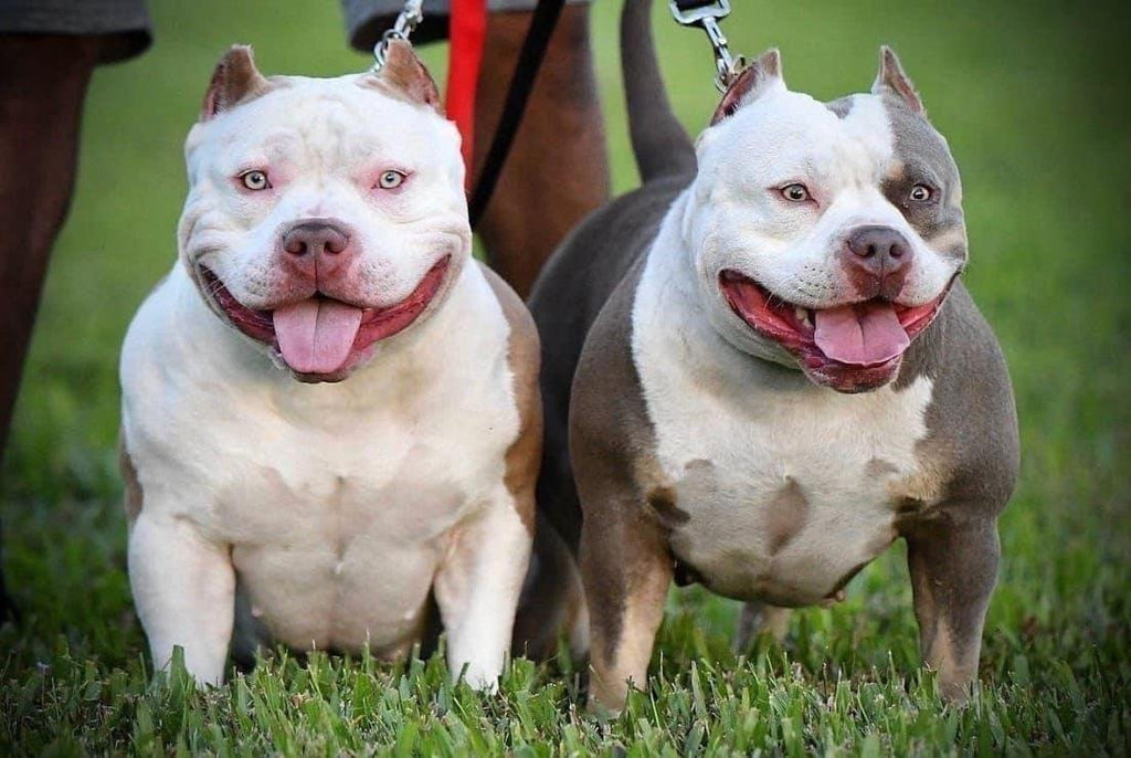 HOW TO BECOME A SUCCESSFUL AMERICAN BULLY BREEDER-Venomline | Top Pocket American Bully Breeder